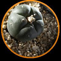 peyote-cactus
