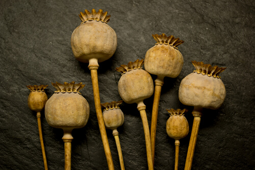 opium poppy plant seed heads