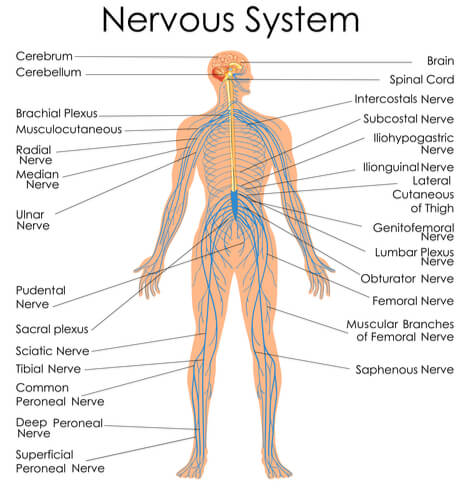 human nervous system diagram