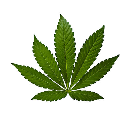 cannabis indica leave