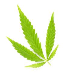 cannabis ruderalis leave
