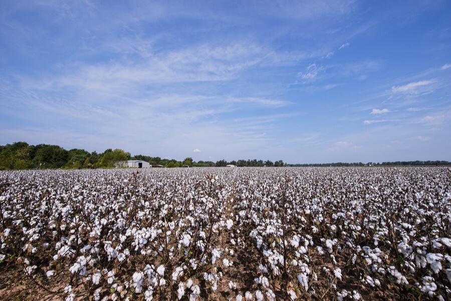 Cotton Field in Alexandria Louisiana