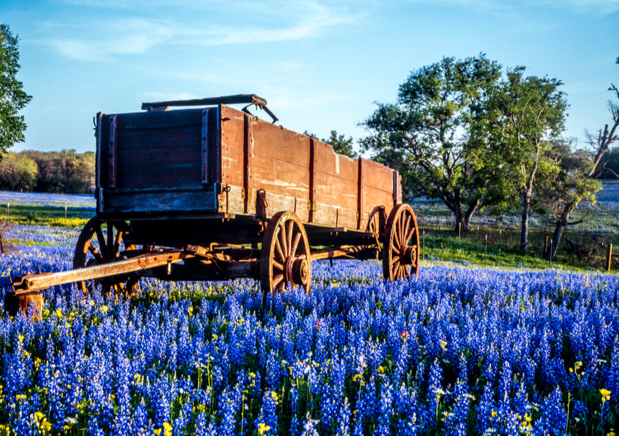 Wagon in field of bluebonnets