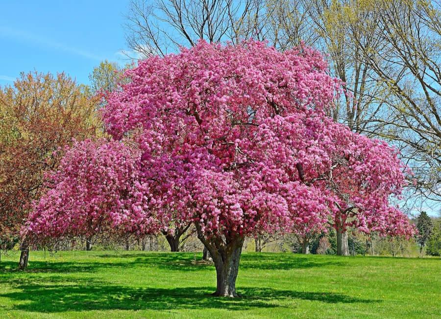 crabapple tree at Dawes Arboretum, Ohio