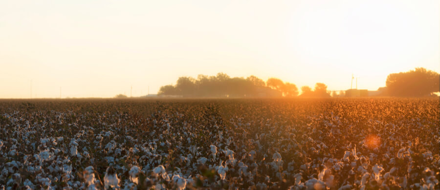 Cotton field in Lubbock, Texas
