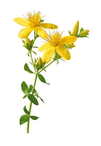St John's wort plant