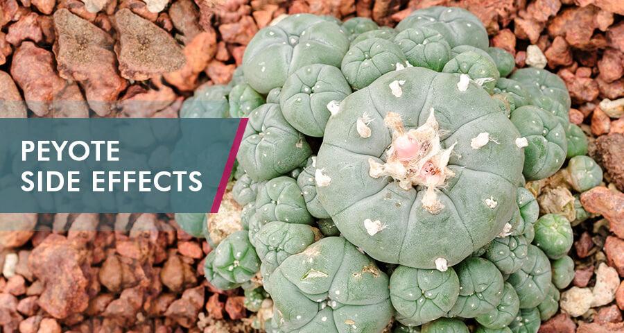 Peyote cactuses