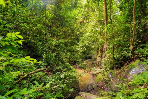 sumatra mitragyna speciosa