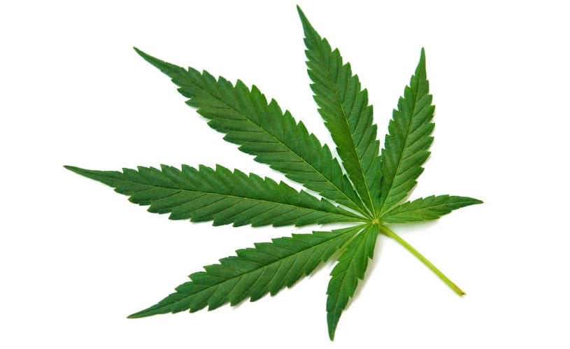 Cannabis Sativa plant.