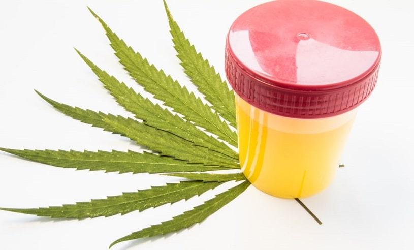Urine container next to marijuana leaves.