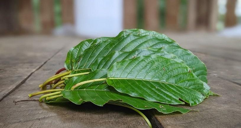 Kratom tree leaves.