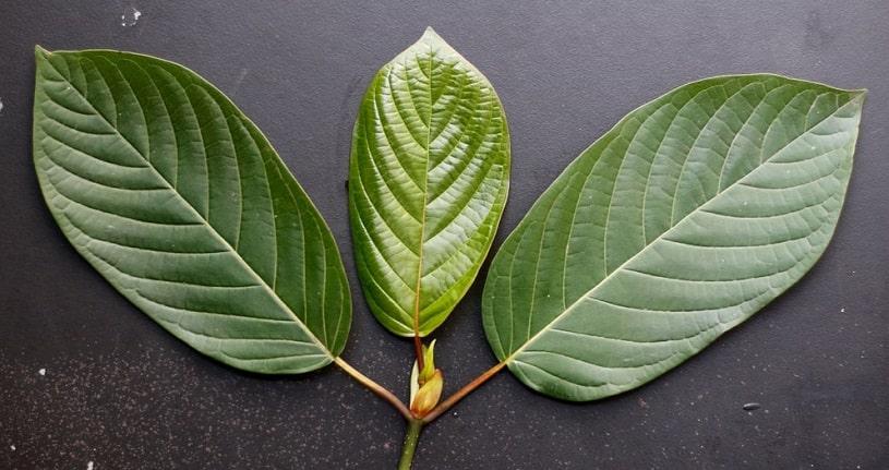 White vein Kratom leaves.