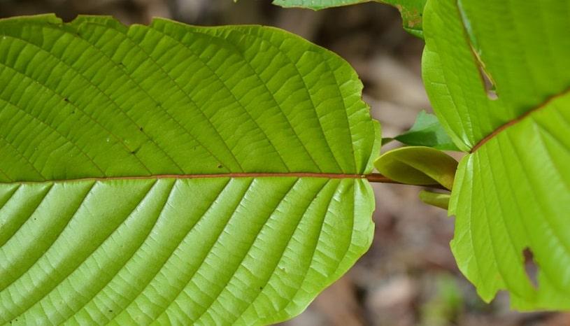 Red vein Kratpm leaf.